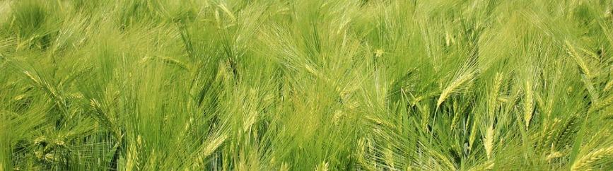 barley-field-1426269_960_720
